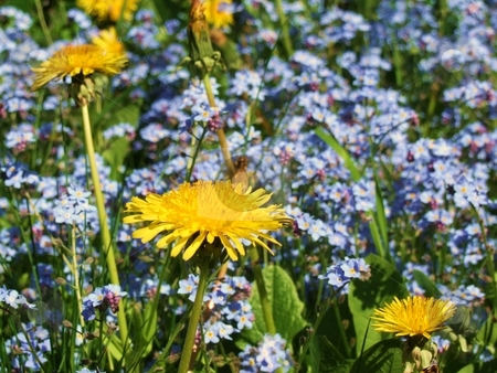 Yellow Dandelions and Small Blue Flowers stock photo, Yellow Dandelions and Small Blue Flowers by Stephen Lambourne