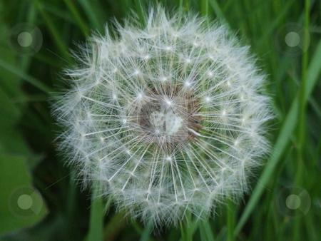 Wishing Flower stock photo, Wishing Flower by Stephen Lambourne