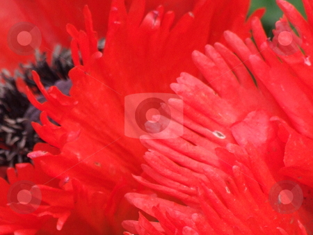 Red Flower with Black Centre stock photo, Red Flower with Black Centre by Stephen Lambourne