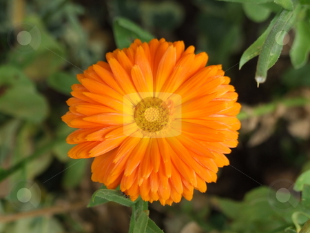 Orange Flower Green Foliage stock photo, Orange Flower Green Foliage by Stephen Lambourne