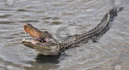 Alligator eating crab stock photo,  by Marianne Dent