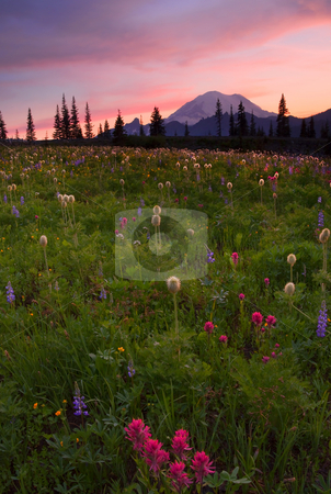 Red Sky over Rainier stock photo, A colorful sunset over Mt. Rainier and alpine meadows dotted with paintbrush, lupine and Western Anenome by Mike Dawson