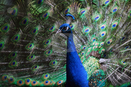 Indian Peafowl stock photo, Closeup picture on an Indian Peafowl with its tail opened by Alain Turgeon