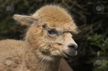 Llama stock photo, Close up of a Llama (Lama glama) by Stephen Meese