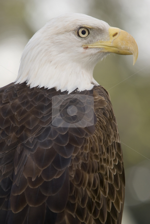 Bald Eagle stock photo, Close up of Bald Eagle (haliaeetus leucocephalus) - portrait orientation by Stephen Meese