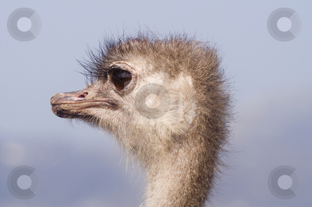 Ostrich stock photo, Close up of head of Ostrich (Struthio camelus) - landscape orientation by Stephen Meese