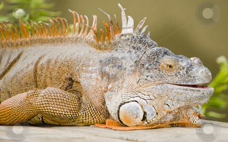 Green Iguana stock photo, Closeup of Green Iguana (Iguana iguana) - landscape orientation by Stephen Meese