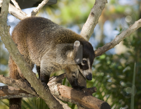 Coatimundi stock photo, Coatimundi (nasua nasua) climbing in tree - landscape orientation by Stephen Meese