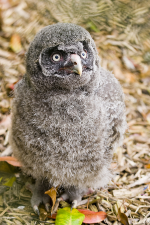 Great Grey Owl Chick stock photo, Close up of Great Grey Owl (Strix nebulosa) chick by Stephen Meese