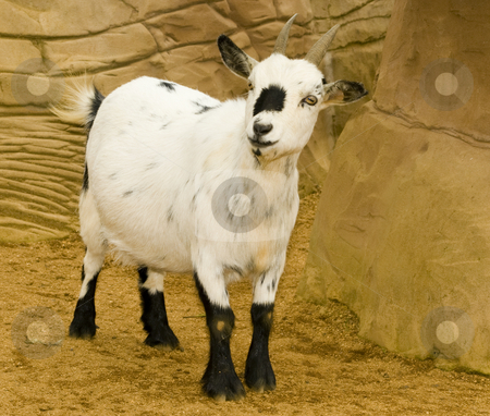 Pygmy Goat stock photo, Pygmy Goat (Capra Hicus) - landscape orientation by Stephen Meese