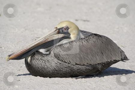 Brown Pelican stock photo, Brown Pelican (Pelecanus occidentalis) - landscape orientation by Stephen Meese