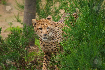 Cheetah stock photo, Closeup of Cheetah (Acinonyx jubatus) by Stephen Meese