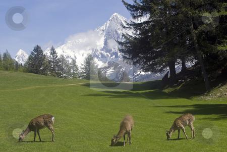 Reindeer stock photo, Reindeer (Rangifer tarandus) in Chamonix France by Stephen Meese