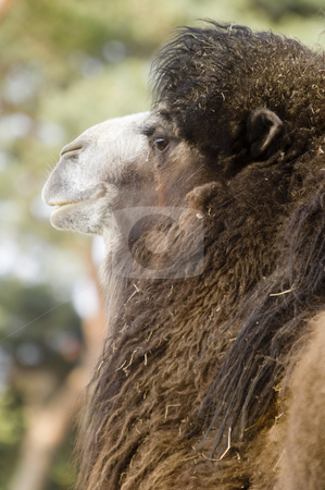 Bactrian Camel stock photo, Bactrian Camel (camelus bactrianus) - portrait orientation by Stephen Meese