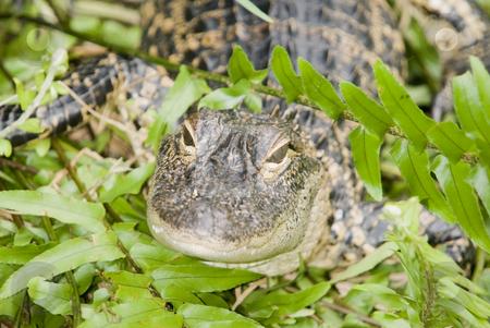 Alligator stock photo, Closeup of Alligator (alligator mississippiensis) - landscape orientation by Stephen Meese