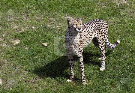 Cheetah in the zoo stock photo, Cheetah in the zoo in Holland by Chris Willemsen