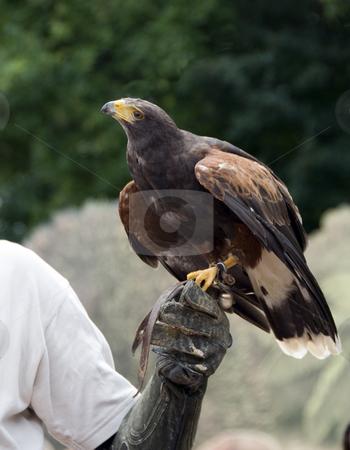 Buteo bird stock photo, Buteo bird in zoo in a show for wild birds by Chris Willemsen