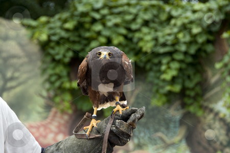 Buteo bird stock photo, Buteo bird in zoo in a show for wild birds by Chris Willemsen
