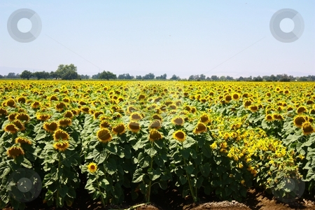 Crop of sunflowers with some blackeyes susans'. stock photo, Sunflowers by Gregory Dean