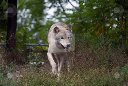 Gray Wolf stock photo, Closeup picture of a gray wolf in its natural habitat by Alain Turgeon