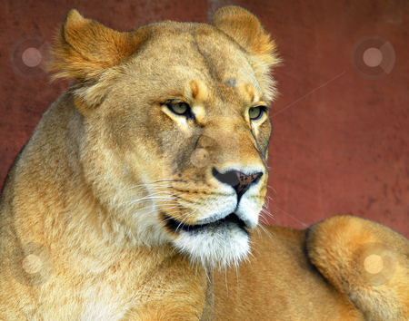 Female Lion stock photo, Closeup portrat of a beautiful female lion by Alain Turgeon
