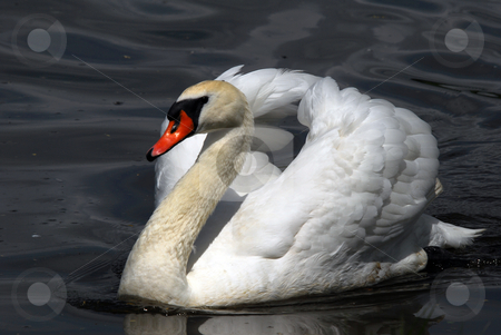 Swan stock photo, Closeup picyture of a beautiful White Swan swimming by Alain Turgeon