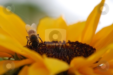 Bee on Sunflower stock photo,  by Brett Horne