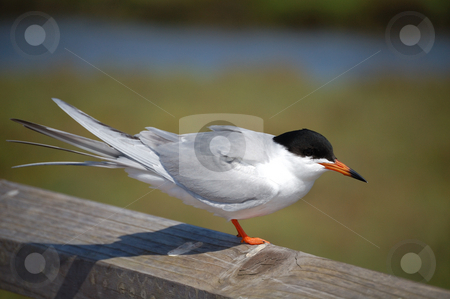 Endangered Least Tern stock photo,  by Brett Horne
