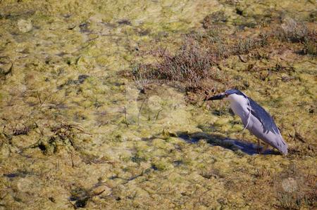 Grey white bird on wetlands stock photo,  by Brett Horne