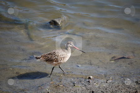 Godwit stock photo,  by Brett Horne