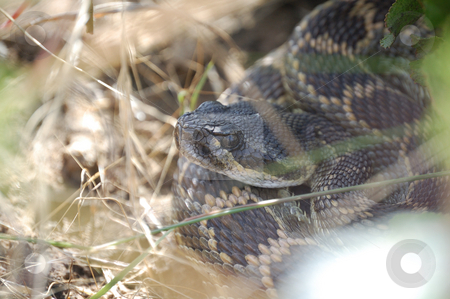 Rattle snake hidding stock photo,  by Brett Horne