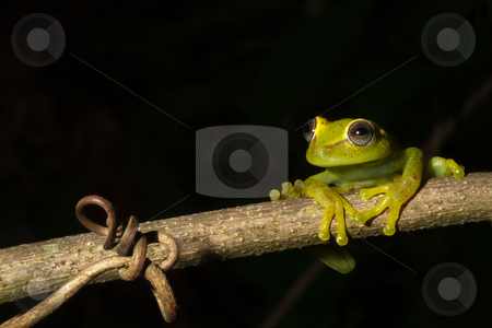 Tree frog stock photo, Frog at night on a branch in the Bolivian rainforest Hypsiboas cinerescens by Dirk Ercken