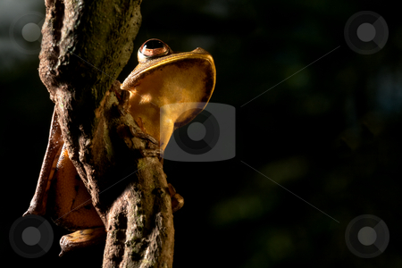 Tree frog stock photo, Tree frog hypsiboas geograficus at night in the Bolivian jungle by Dirk Ercken