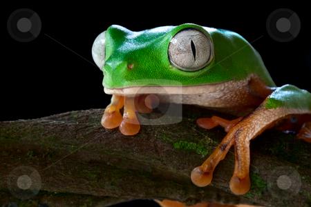 P tomopterna stock photo, Monkey tree frog closeup un a branch by Dirk Ercken