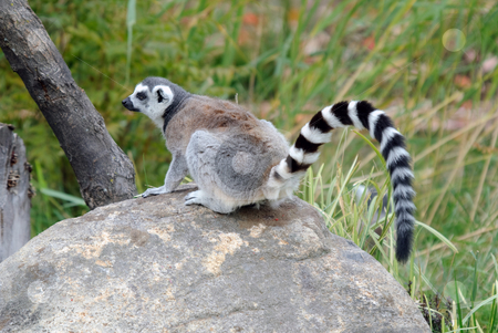 Ring-tailed Lemur stock photo, Picture of a beautiful Ring-tailed Lemur from Madagascar by Alain Turgeon
