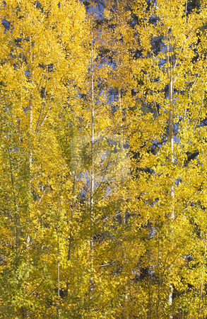 Yellow Gold Quaking Aspen Trees Leaves Close Up Leavenworth Wash stock photo, Yellow Gold Quaking Aspen Trees Leaves Close Up Fall Colors Leavenworth Washington, October 10, 2008 by William Perry