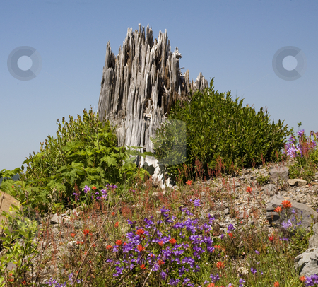 Red Blue Wildflowers Blast Stump Mount Saint Helens National Par stock photo, Red Blue Wildflowers Indian Paint Brush Larkspur Wooden Stump from Volcanic Blast, Saint Helens Volcano National Park Washington  Shows that mountain is recovering from volcanic blast in 1980. by William Perry