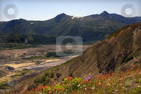 Wildflowers Debris Field Mount Saint Helens National Park Washin stock photo, Wildflowers Debris Field Mount Saint Helens National Park Washington Red Orange Indian Paint Brush, Purple Larkspur in front of debris field from volcanic blast in 1980. by William Perry