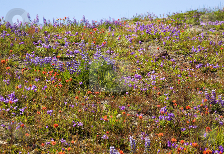 Wildflowers Mount Saint Helens National Park Washington stock photo, Wildflowers Mount Saint Helens National Park Washington Red Orange Indian Paint Brush, Purple Larkspur Lupine abstract tapestry of colors by William Perry