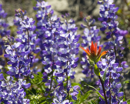 Alipine Red Blue Wildflowers Indian Paintbrush Purple Lupine  stock photo, Alpine Wildflowers Red Indian Paint Brush in Front of Purple Lupine Mount Saint Helens Volcano National Park Washington by William Perry