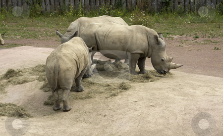 Rinoceros   stock photo, Some very big rineceros in the zoo in holland by Chris Willemsen