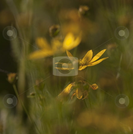 Yellow flower stock photo,  by H??kan Karlsson