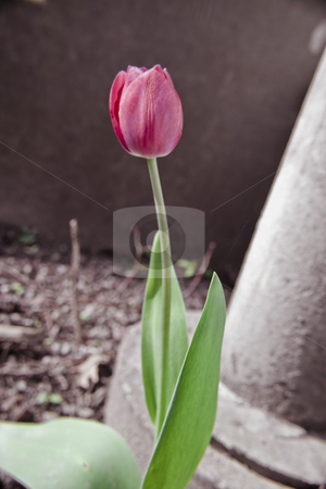 Tulip stock photo, Tulip in a close-up by Fredrik Elfdahl