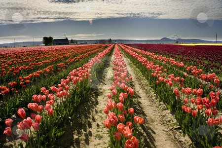 Pink Tulip Fields, Skagit County, Washington stock photo, Pink Tulip Fields in the Spring, Mount Vernon, Skagit County, Washington, Northwest by William Perry