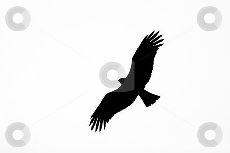 Black eagle stock photo, Black eagle on white backround by Mircea Struteanu