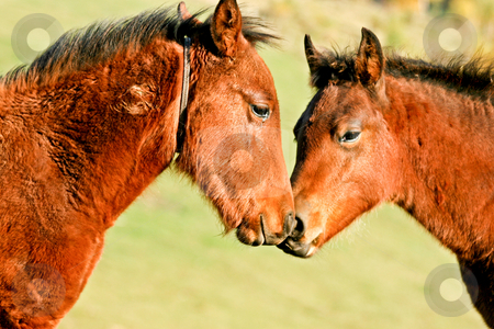 Horse love stock photo, Two young brown sad horses showing emotions by Mircea Struteanu