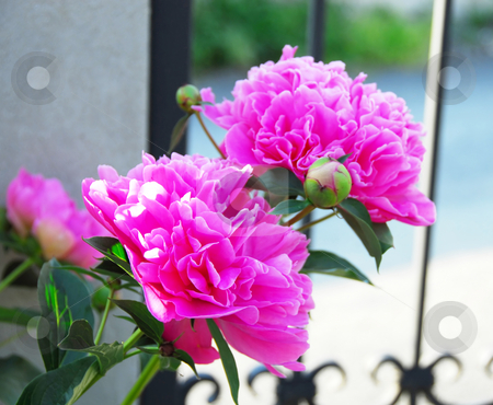 Pink peonies stock photo, Two blooming pink big peonies growing outdoor by Julija Sapic