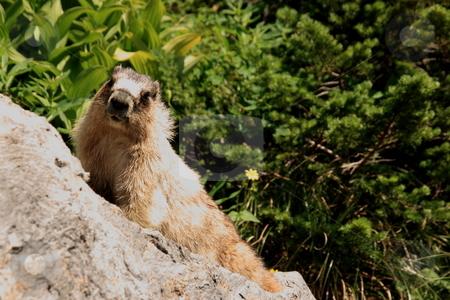 Woodchuck or Ground Hog stock photo, Woodchuck (Marmota monax) on a rock. by John Sterrett