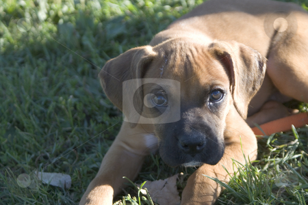 Emile looking stock photo, Emile, the baby boxer, looking toward something by Yann Poirier