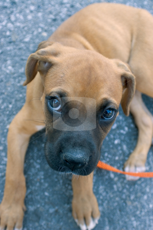 Emile pity face stock photo, Emile, the baby boxer, show's his pity face while resting on asphalt by Yann Poirier
